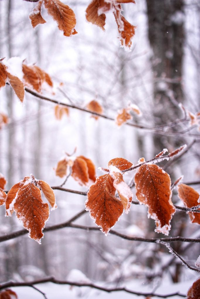 Autumn leaves in winter snow