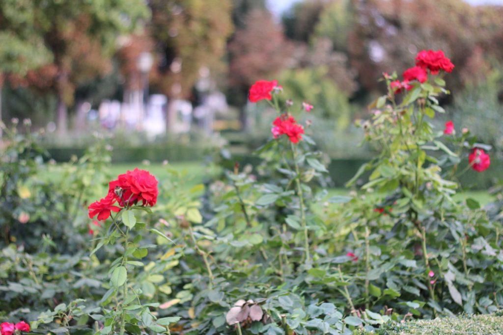 Рози, парк във Виена