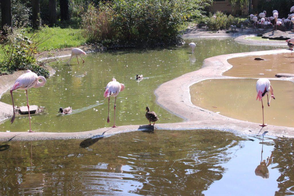 Розови фламингота в Зоопаркът във Виена
