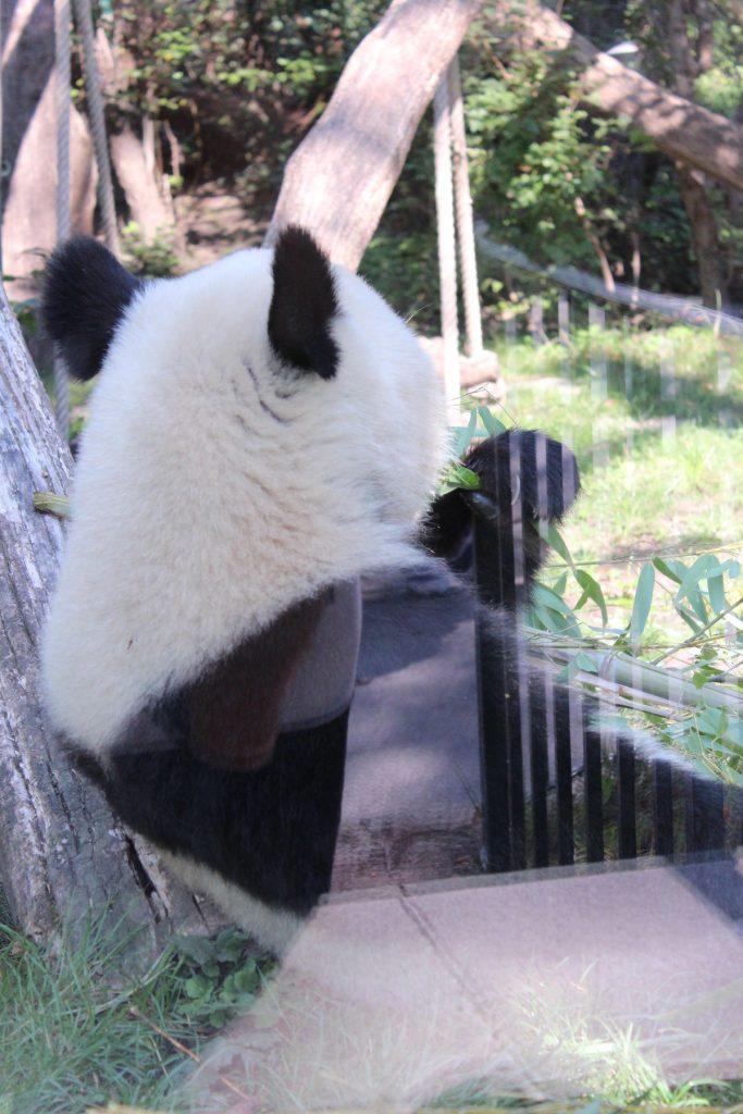 Панда в Зоопаркът във Виена