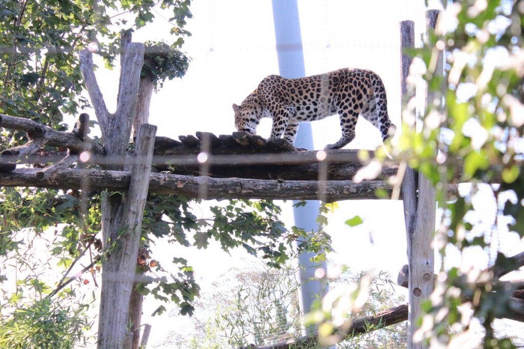 Леопард в Зоопаркът във Виена